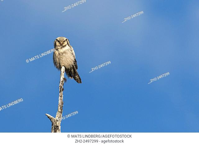 Adult Northern Hawk-Owl, Surnia ulula, sitting in top of an old tree, Gällivare, Swedish Lapland, Sweden