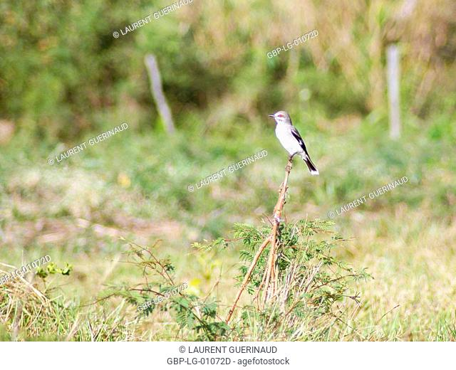 Dove-give-souls, Maria-white, Gray Monjita, Xolmis cinerea, Pantanal, Mato Grosso do Sul, Brazil