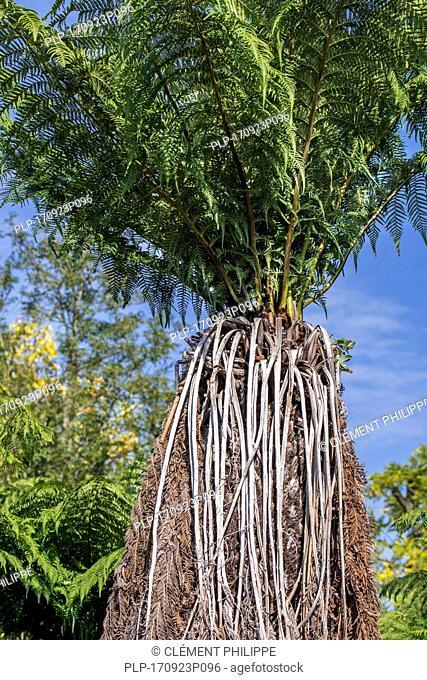 Soft tree fern / man fern (Dicksonia antarctica) evergreen tree fern native to eastern Australia