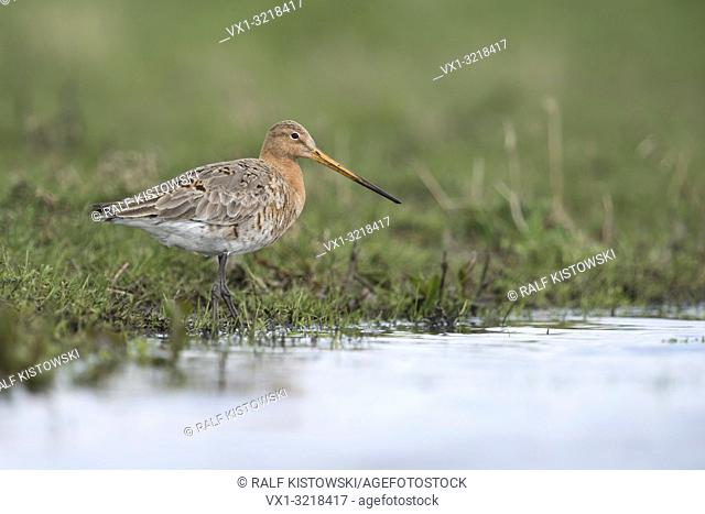 Black-tailed Godwit / Uferschnepfe ( Limosa limosa), popular wader bird, endangered by habitat loss, resting in marshland, close to water.