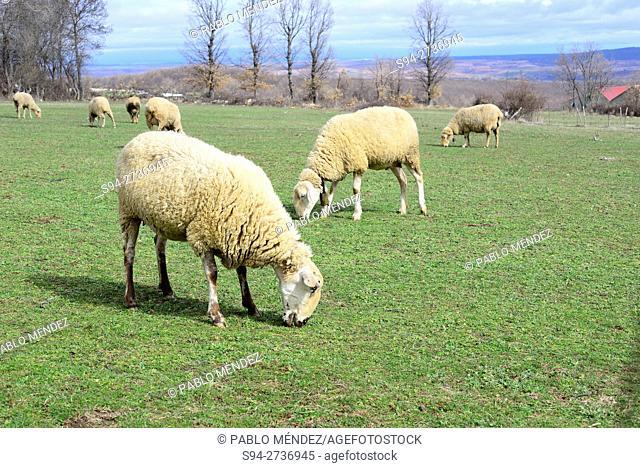 Sheeps in a meadow in Martin Muñoz de Ayllon, Segovia, Spain