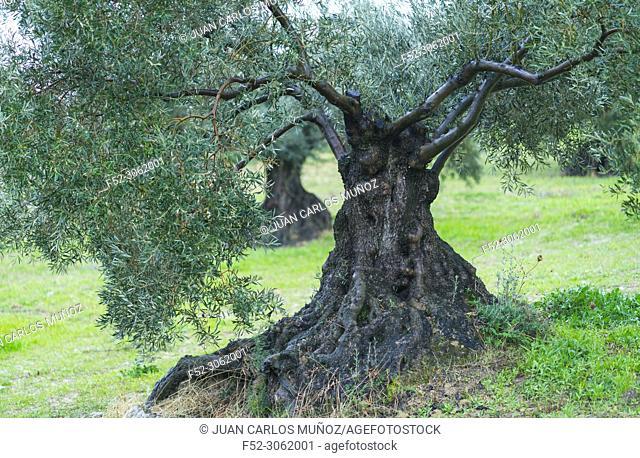 Olive (Olea europaea), Sierra de las Nieves National Park, Málaga, Andalusia, Spain, Europe