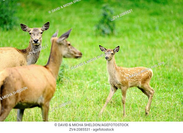 Close-up of a red deer (Cervus elaphus) calf with her mother on a meadow, Bavaria, Germany