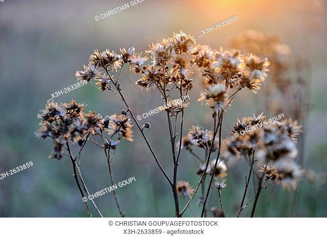 dried plants, Eure-et-Loir department, Centre region, France, Europe
