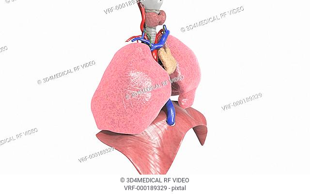The camera pans from left to right in an upwards arc around the respiratory system