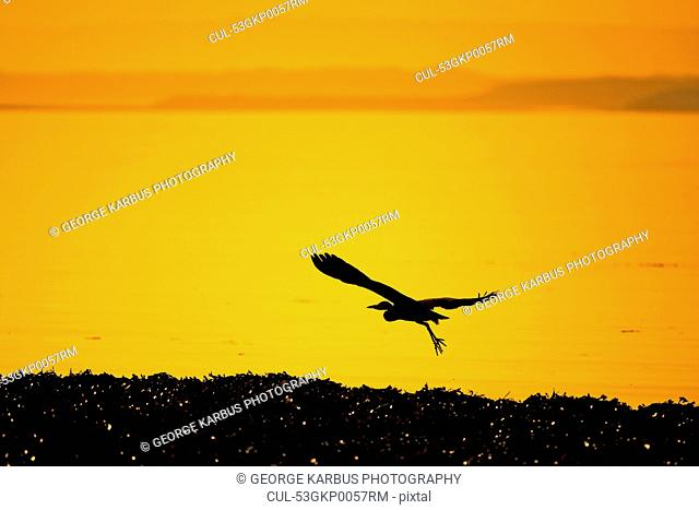 Silhouette of heron flying over water