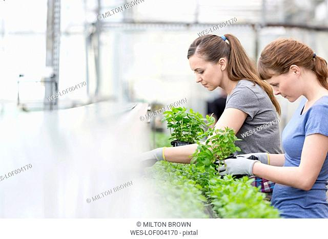 Two women in greenhouse examining herbal plants