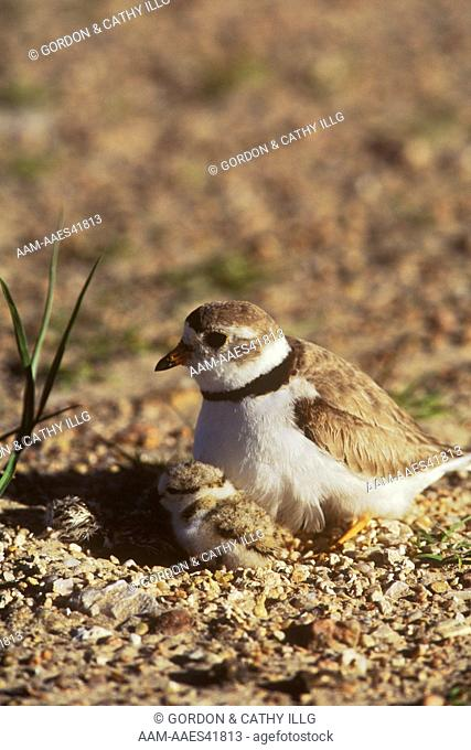 Piping Plover w/ newly hatched chick & older chick