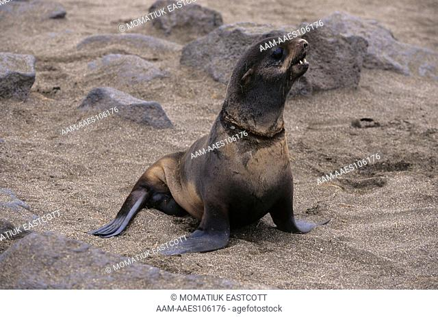 N. Fur Seal freed from Fish Net scrap around Neck, shows well healed scar, Pribilofs, AK