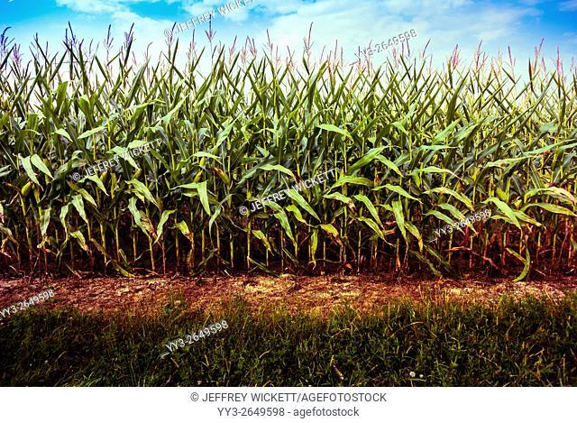 Minimalist view, row of corn in Indiana, USA