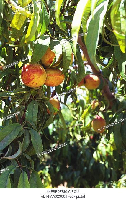 Peaches growing on peach tree