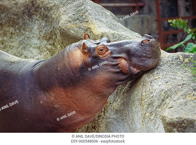 Hippopotamus Hippopotamus amphibious in Nehru Zoological Park , Hyderabad , Andhra Pradesh , India