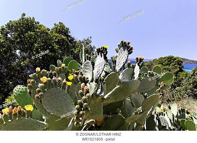Opuntia ficus-indica, Indian Fig Opuntia