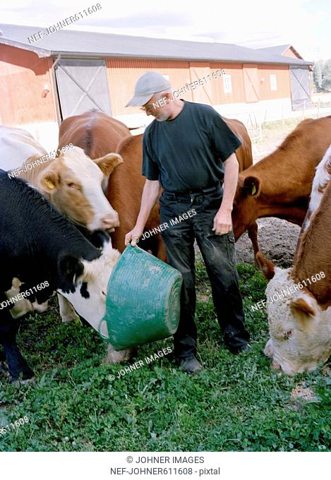 A farmer with his cows, Sweden