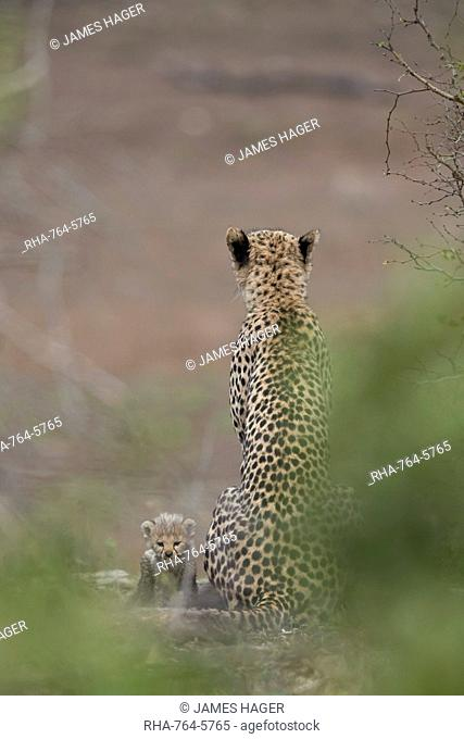 Cheetah (Acinonyx jubatus) mother and tiny cub, Kruger National Park, South Africa, Africa