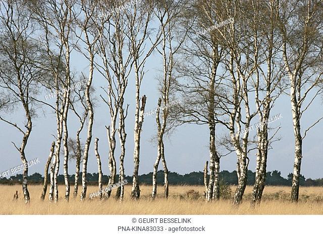 Birch Betula - National Park De Hoge Veluwe, Guelders, The Netherlands, Holland, Europe