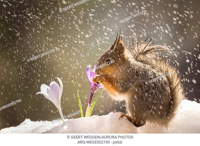Side view shot of single red squirrel during snowfall with crocus flower in winter