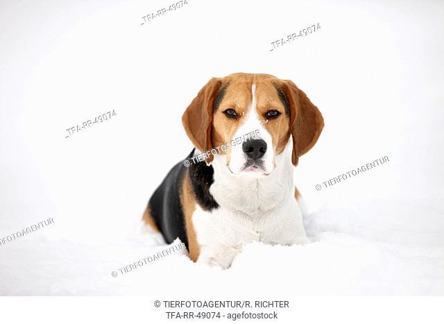 lying Beagle