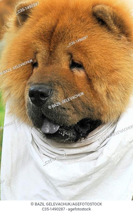 Dog, Chow Chow