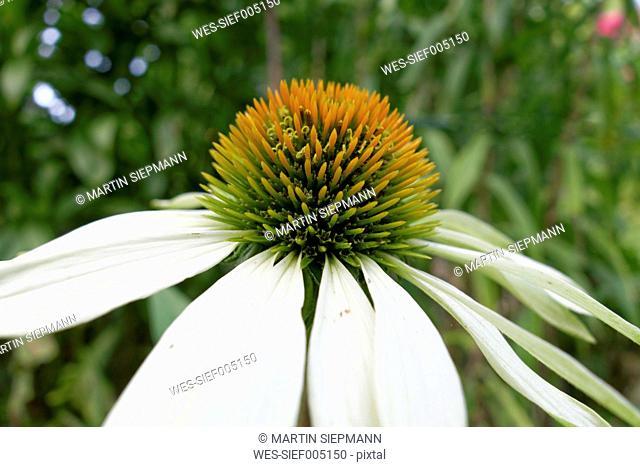Germany, Bavaria, white coneflower (Echinacea purpure 'Alba'), close-up