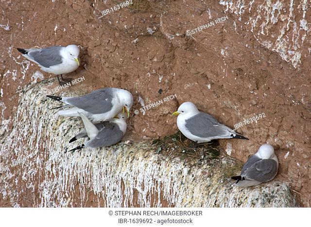 Kittiwakes (Rissa tridactyla), nesting on the Vogelfelsen, bird rock, on the island of Heligoland, Helgoland, Schleswig-Holstein, Germany, Europe