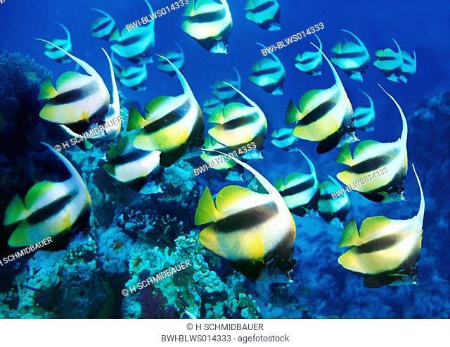 pennant coralfish Heniochus spec., shoal