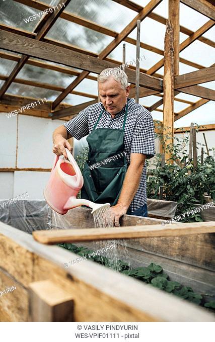 Mature man, gardener in greenhouse watering plants