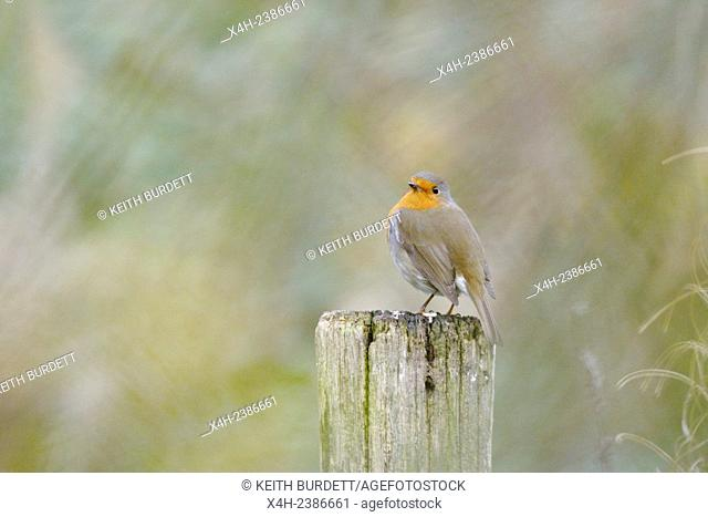 European Robin, Erithacus rubecula perched on a wooden fencepost, Wales, UK