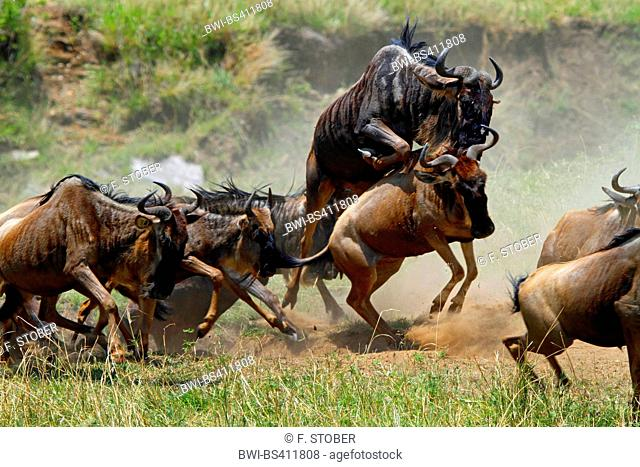 Eastern White-bearded Wildebeest (Connochaetes taurinus albojubatus), stampede of a herd of wildebeests, Kenya, Masai Mara National Park
