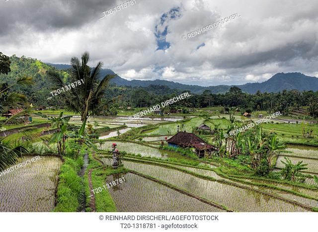 Ricefields at Bali, Oryza, Bali, Indonesia