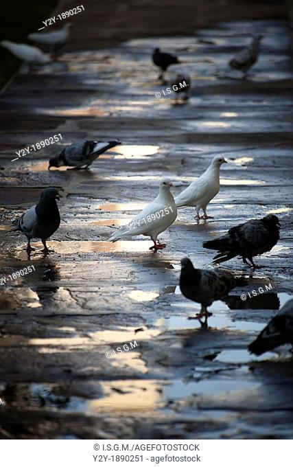 Pigeons in the morning