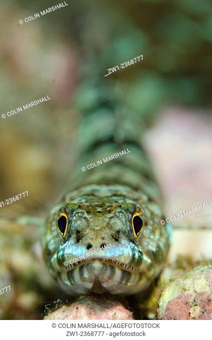 Reef Lizardfish (Synodus variegatus), Nudi Retreat dive site, Lembeh Straits, Sulawesi, Indonesia