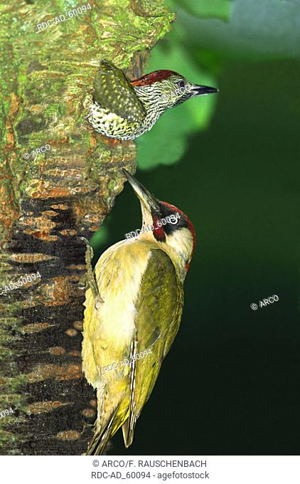 Green Woodpecker with young at tree hole Picus viridis