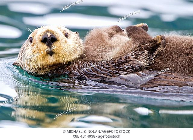 Adult sea otter Enhydra lutris kenyoni mother and pup in Inian Pass, Southeastern Alaska, USA  Pacific Ocean  MORE INFO: This sub-species ranges from the...