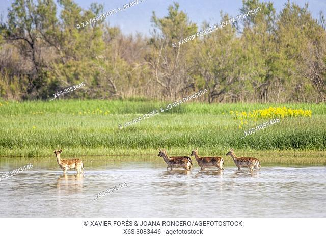 Fallow deers - Dama dama - , Natural Park of Aiguamolls de l'Empordà, Girona, Spain