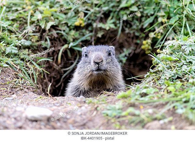 Marmot (Marmota), juvenile peeking out of burrow, Dachstein, Styria, Austria