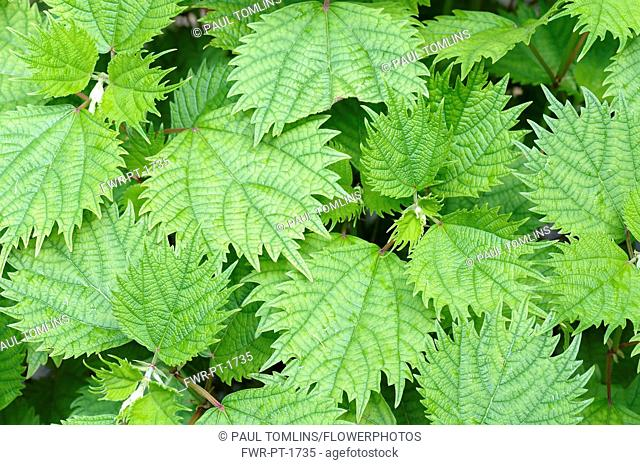 White Ramie, Boehmeria utilis, Aerial view of leaves showing pattern.-