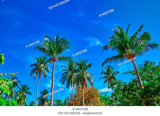 Coconut palms against a blue sky with white clouds background. Bottom view. Copy space. Concept sunny day in jungle, vacation