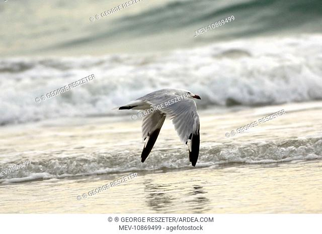Moulting adult Audouin's Gull In flight (Larus audouinii). Southern Spain September