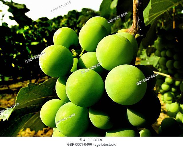 Fruits, grapes, vineyard, city, Jundiaí, São Paulo, Brazil