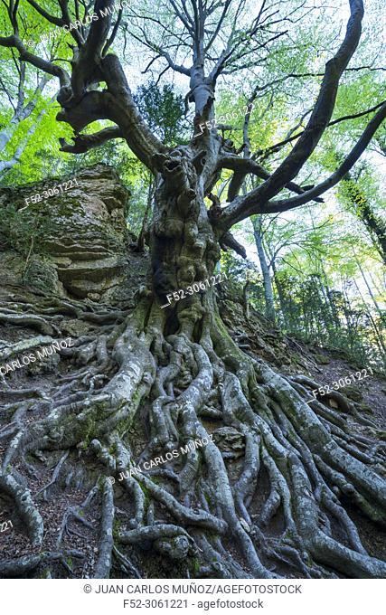 El Faig Pare Ancient Beech, Beech - Haya (Fagus sylvatica), El Retaule Beech Forest, La Fou Ravine, The Ports Natural Park, Terres de l'Ebre, Tarragona