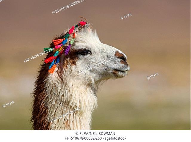 Llama Llama glama adult, close-up of head, with traditional Indian wool tassels, Jujuy, Argentina, january
