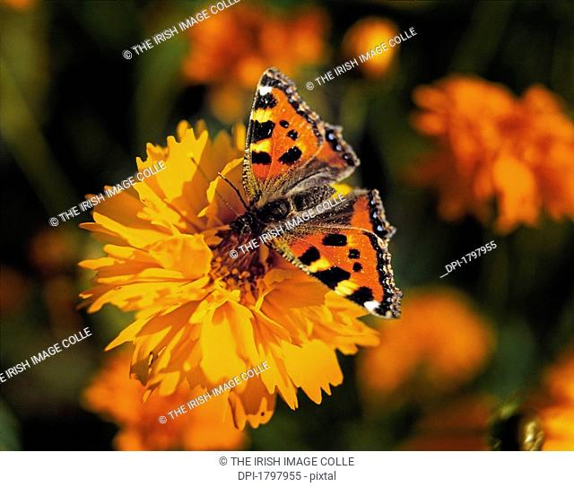 Red Admiral Butterfly resting on a Coreopsis
