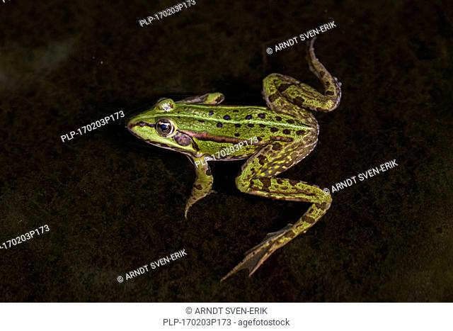 Edible frog / common water frog / green frog (Pelophylax kl. esculentus / Rana kl. esculenta) floating in water of pond