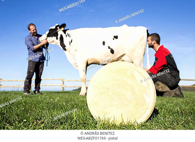 Cheese with cow and farmers in the background on a pasture