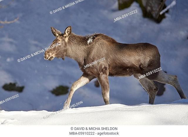 Elk, Alces alces, females, winters, side view, run