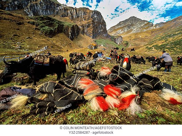 Loading yak caravan, preparing to cross Tamplela Pass, 4550m, Snowman trek, northern Bhutan