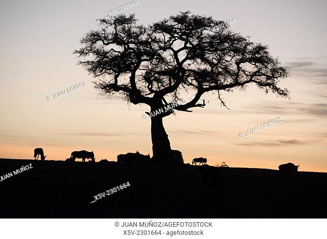Silhouette of wildebeests and acacia on sky on sunset. Masai Mara NP