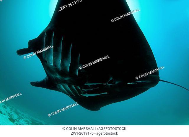 Manta Ray (Manta birostris) against sun, Manta Sandy dive site, Arborek, Dampier Straits, Raja Ampat (4 Kings) area, West Papua, Indonesia