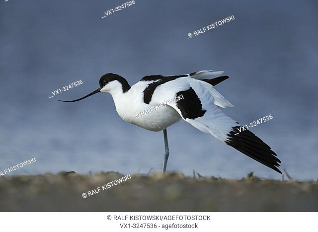 Pied Avocet / Saebelschnaebler ( Recurvirostra avosetta ) stretching its body and wings, wadden sea, Germany.